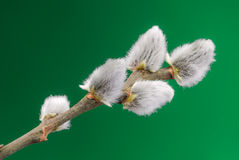 Pussy willow tree buds Stock Photo