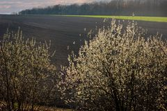 Pussy Willow Tree and spring landscape. Female Catkins of Goat or Pussy Willow Tree Salix caprea and spring landscape stock photography