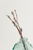 Pussy willow twigs in green glass jar vase on white background Royalty Free Stock Photos