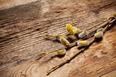 Pussy willow on wooden background Stock Photos