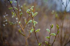willows in bloom. Selective focus. Early spring concepts stock image