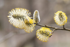 Willows. Blooming willows on a tree branch stock image