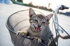 The pussycat in the basket of bicycle. The pussycat calling in the basket of bicycle royalty free stock images