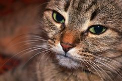 Pussycat. Cat face with expressive eyes closeup royalty free stock photography