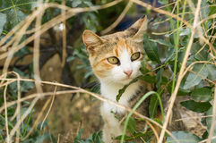 Pussycat. Cat with mottled coloring sits in the bushes Royalty Free Stock Photography