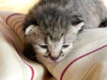 Pussycat. 17 days old baby cat exploring the soft cushion pile stock images