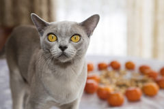 Pussycat got caught with mandarins on table Royalty Free Stock Photo