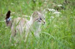 Pussycat. Hunting in green grass royalty free stock photography
