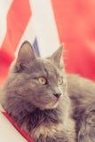 Pussykatze, die auf Union Jack sitzt Lizenzfreie Stockfotografie