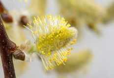 Pussypil mycket av pollen Royaltyfria Bilder