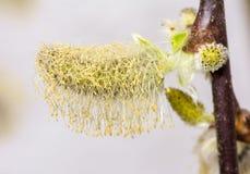 Pussypil mycket av pollen Arkivfoto