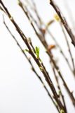 Pussyweide in der Blüte Stockbilder