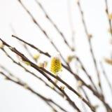 Pussyweide in der Blüte Stockfotos