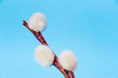 Pussyweide gegen blauen Himmel Stockfoto