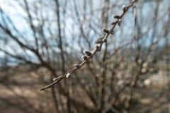Pussyweidenabschluß oben auf April 13. in Lettland - Frühlingsblumen und Baumzweige stockbilder