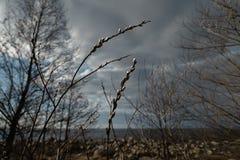 Pussyweidenabschluß oben auf April 13. in Lettland - Frühlingsblumen und Baumzweige lizenzfreies stockfoto