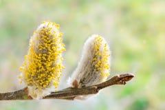 Pussyweidenkätzchen mit dem gelben Blütenstaub an einer Weide verzweigen sich Stockfotografie