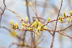 Pussywillow flowers Stock Images