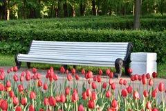 Pusta biała ławka i czerwoni tulipany obraz royalty free