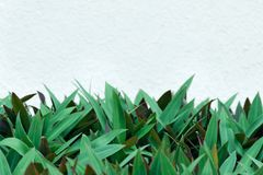 Pusta kopii przestrzeń dla teksta - biała kolor ściana na tle gęsty zieleń liści wzór zdjęcie stock