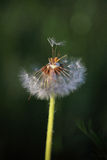 Pusteblume Royalty Free Stock Photography
