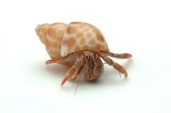 pustelnik kraba Obraz Royalty Free