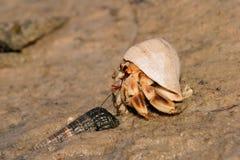pustelnik kraba Obraz Stock