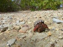 pustelnik ogniska pryszczycy kraba, niderlandy Obraz Royalty Free