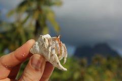 pustelnik ogniska pryszczycy kraba, niderlandy Zdjęcie Royalty Free