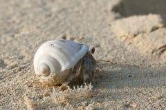pustelnik ogniska pryszczycy kraba, niderlandy Obraz Stock