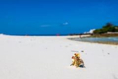 pustelnik ogniska pryszczycy kraba, niderlandy Fotografia Stock