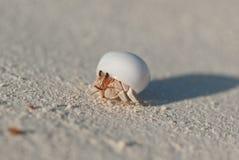 pustelnik ogniska pryszczycy kraba, niderlandy Obrazy Stock