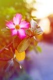 Pustyni róży kwiat robić z kolorów filtrami Obraz Royalty Free