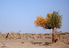 Pustynia kształtujący więdnący drzewo w Ejinaqi Fotografia Royalty Free