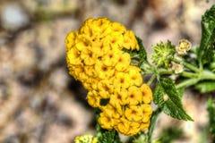 Pustynia kwiaty Obraz Stock