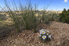 Pustynia kwiaty blisko San Rafael pęcznienia Obraz Royalty Free