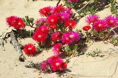 pustynia kwitnąca Obrazy Royalty Free