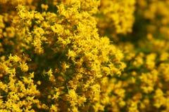 pustynia kwitnie kolor żółty Fotografia Stock