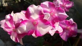 pustynia rose Fotografia Stock