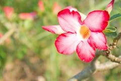pustynia rose Zdjęcie Stock