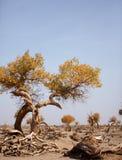 Pustynia więdnący drzewo w Ejinaqi Zdjęcie Stock