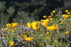 pustynia wildflowers zdjęcie royalty free