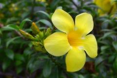 Pustynia wzrastał, Impala leluja, żółty kwiat Obrazy Stock