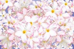 Pustynia Wzrastał, Impala leluja, Próbny azalia kwiatów wzór Zdjęcie Stock
