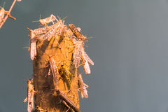 pustynna Afrykanin szarańcza Obrazy Stock