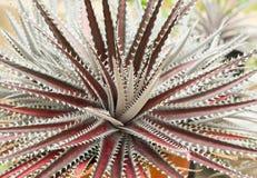 Pustynna agawa Fotografia Royalty Free