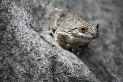 Pustynna drzewna żaba Fotografia Stock
