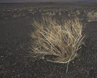 pustynna mędrzec Zdjęcia Royalty Free