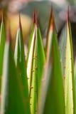 Pustynna ogrodowa agawa Zdjęcia Stock