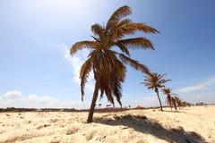 pustynna palma Obrazy Stock